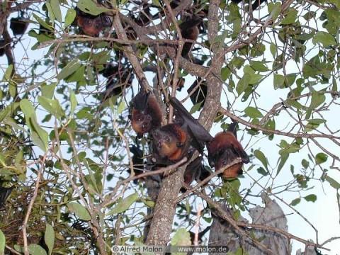 Malaysian_fruit_bat-big