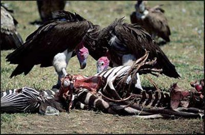 vulture-pictures