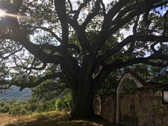 """Дъбът в с. расте дъб расте до външната стена на църквата """"Рождество Богородично"""" в село Насалевци."""