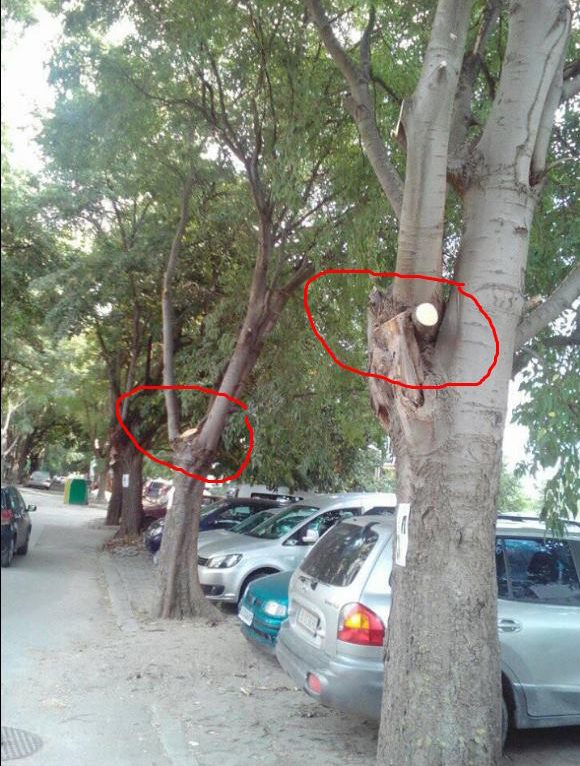 Дървета в малка квартална уличка във Варна, подкастрени преди няколко дни, през август. Скоро ще останат с по един клон...