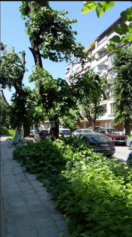 Изрязване на липи през юли и резултатът по тротоара